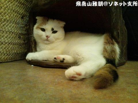 吉祥寺の猫カフェ 不思議なネコの森『てまりのおうち』の看板娘・てまりちゃん (*^.^*)。今回、初めて動画撮影に挑みました ヽ(゚∀゚)ノ ワー。